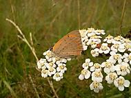 Ohniváček černokřídlý (Lycaena phlaeas)