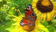 Makro - venku - motýl
