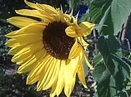 Slunečnice na začátku podzimu