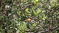 Kraňská Lilie (Lilium carniolicum)