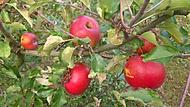 Letos se jablka moc povedli :)