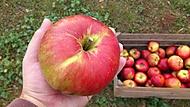 jablko pomalu větší než ruka :)
