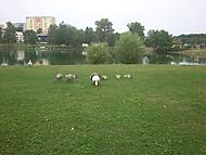 Labuť, labuťák a labuťata