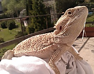 Agama vousatá - Argo