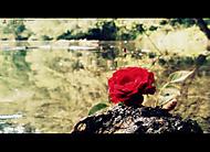 Růžička na břehu kamene